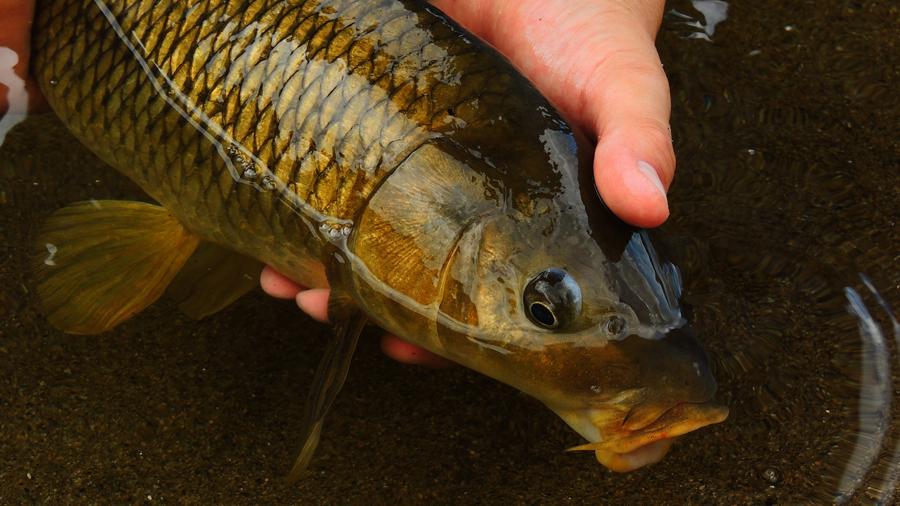 Pesca con mosca de carpas r o quinto san luis t cnica y for Carpa de rio